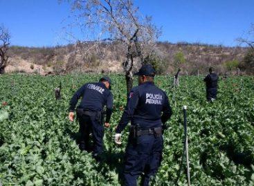 Destruye cinco Policía Federal plantíos de amapola en Chihuahua