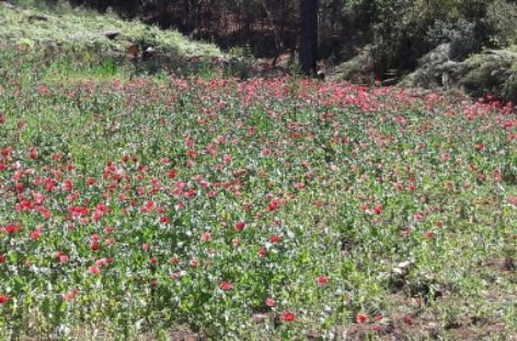 Destruyen plantío de amapola de ocho mil 945 metros cuadrados: PGR Oaxaca