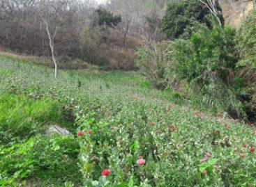 Destruyen e incineran plantío de amapola y marihuana en Tepuxtepec, Oaxaca