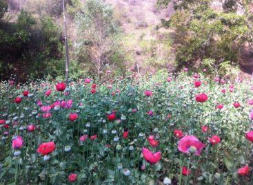 Destruyen plantío de amapola de dos mil 100 metros cuadrados en Yautepec, Oaxaca