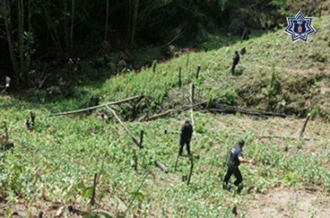 Incineran sembradío de seis mil metros cuadrados de amapola en la Sierra Norte: SSPO