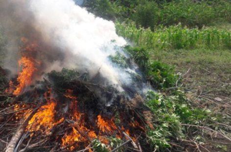 Destruyen e incineran plantío de marihuana de ocho mil metros cuadrados en Oaxaca