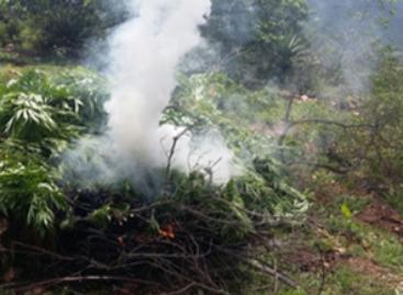 Destruyen e incineran plantío de marihuana en Lachigalla, Oaxaca