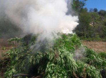 Incineran plantío de marihuana de más de dos mil metros cuadrados en Ejutla, Oaxaca