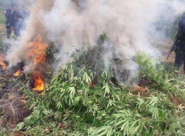 Destruye PGR Oaxaca dos plantíos de marihuana en Ejutla, Oaxaca