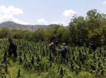 Destruyen e incineran dos plantíos de marihuana en Coatecas, Oaxaca