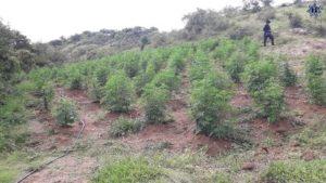 Destruyen e incineración alrededor de 15 mil plantas de marihuana.