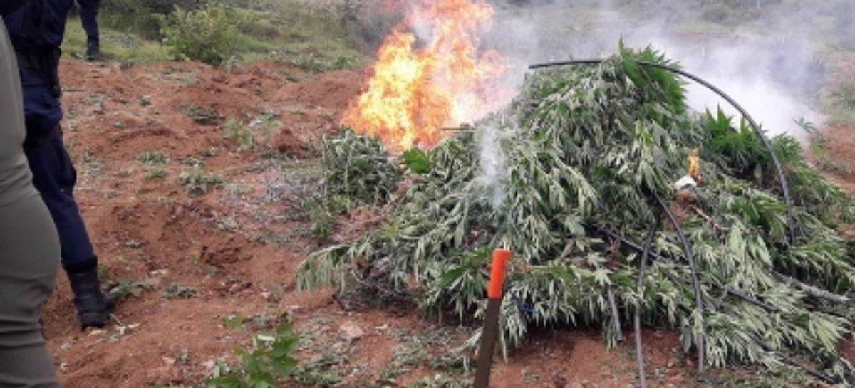 Destruyen e incineran plantío de marihuana en Ejutla de Crespo, Oaxaca