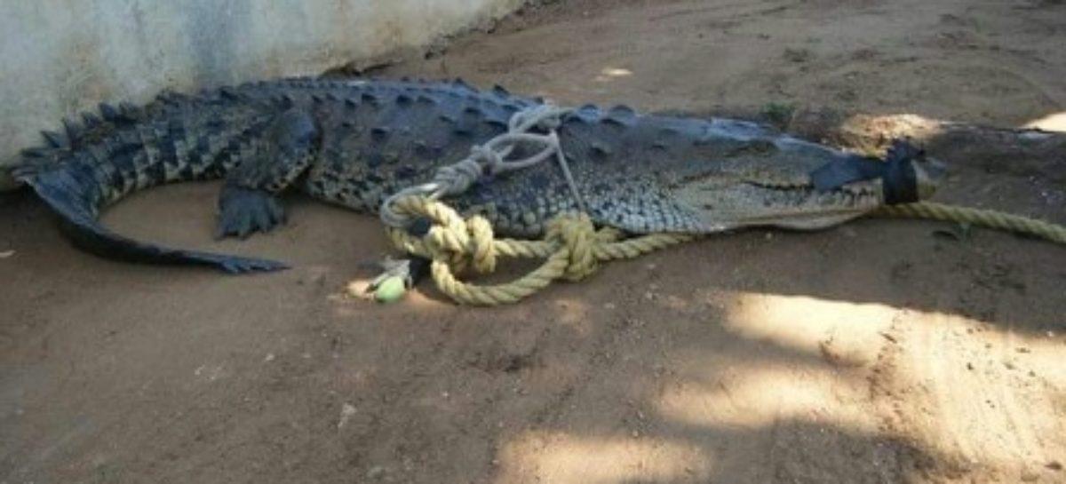 Capturados 14 cocodrilos y devueltos a su hábitat natural: Protección Civil de Oaxaca