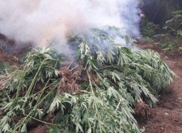 Destruye PGR Oaxaca plantío de marihuana de 960 metros cuadrados