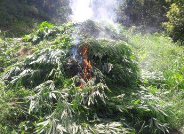 Destruyen e incineran plantío de marihuana en Coatecas Altas, Oaxaca