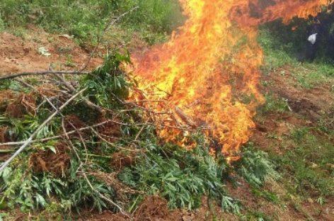 Destruyen e incineran plantío de marihuana de unos dos mil metros cuadrados