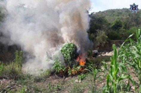 Destruyen e incineran plantío de dos mil metros cuadrados de marihuana en Ejutla