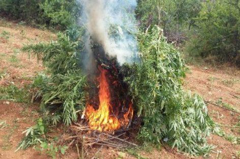 Destruyen e incineran plantío de marihuana en San Juan Lachigalla, Oaxaca