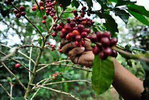 Establecerán acuerdos comerciales con cafeticultores