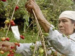 Baja producción de café en Oaxaca, pese a aumento en los precios
