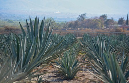 """Promueve Gobierno de Oaxaca cultura del agave; Inauguran Fundación """"El Agave y Nosotros"""""""