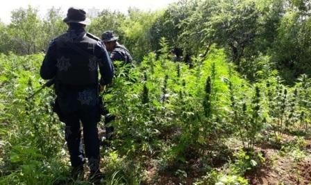 Destruyen e incineran dos plantíos de marihuana en Ejutla de Crespo, Oaxaca
