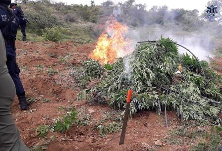 Incineran marihuana