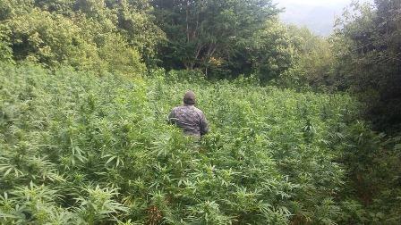 Destruye PGR Oaxaca plantío de marihuana de unos siete mil 300 metros cuadrados