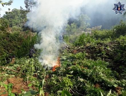Localizan Policía Estatal y PGR plantío de marihuana en San Miguel Ejutla, Oaxaca
