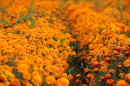 Flor de cempasúchil y cresta de gallo o borla