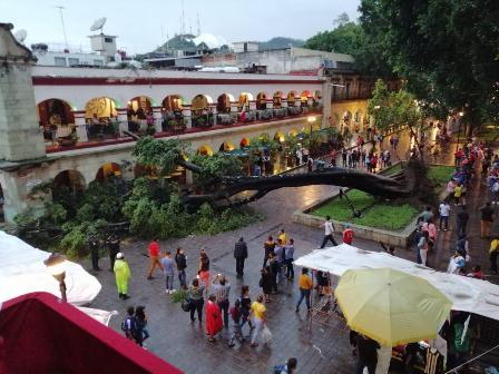 No se reportaron personas lesionadas por caída de Laurel de la India en Zócalo de Oaxaca
