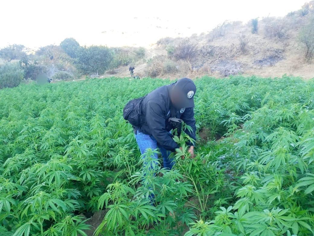 Incineran plantío de marihuana en San Pablo Güilá, región de Valles Centrales de Oaxaca