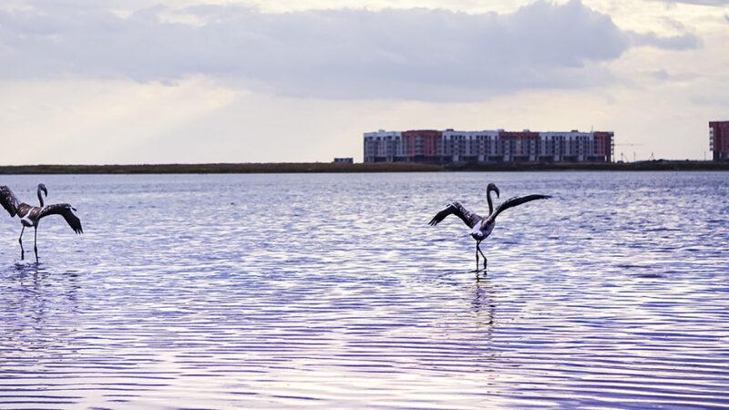 Día Mundial de las Aves Migratorias: Los flamencos regresan a la capital de Kazajistán