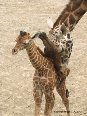 Nacen dos jirafas en Zoológico de Chapultepec; pesaron alrededor de 50 kilogramos al nacer