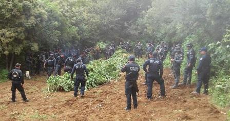 Localizan e incineran 15 plantíos de marihuana en Ejutla de Crespo, Oaxaca