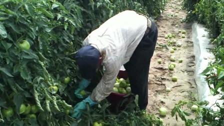 Trabajarán en plantaciones de tomate